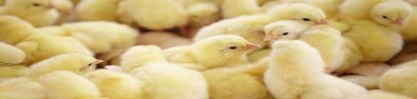 Matériel de préservation de l'hygiène envrionnemental de vos volailles