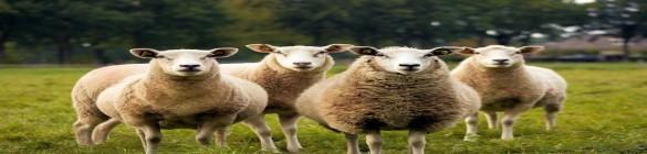 Nécessaire de nettoyage de l'environnement des ovins et caprins