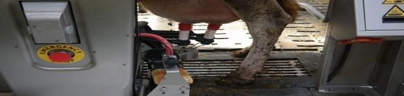 Hygiène de la traite robotisée de bovins